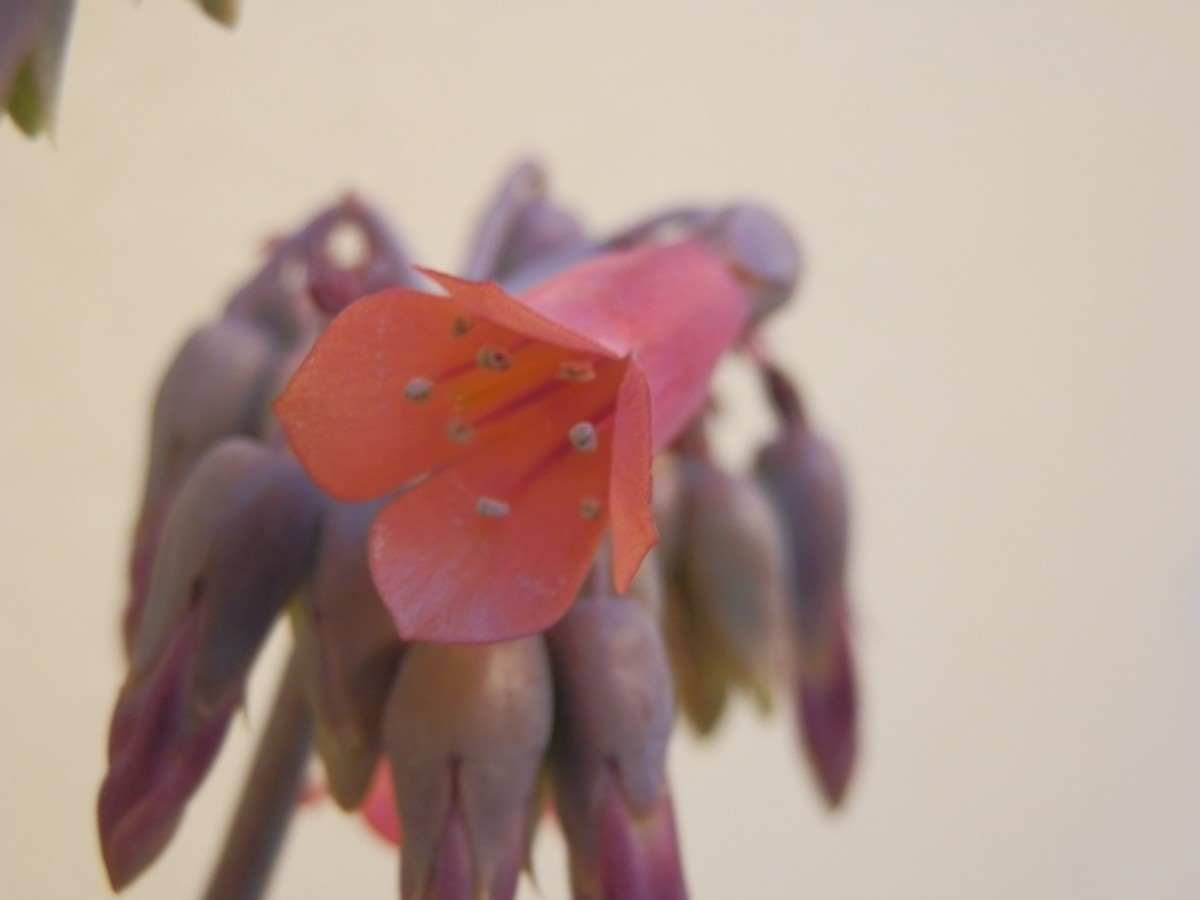 close up of one of the bell-shaped flowers of the Mother of Thousands plant