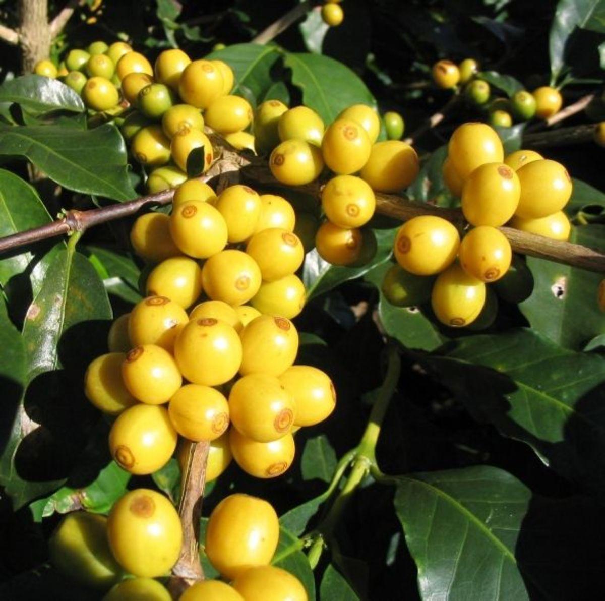 Bourbon Coffee growing in Brazil