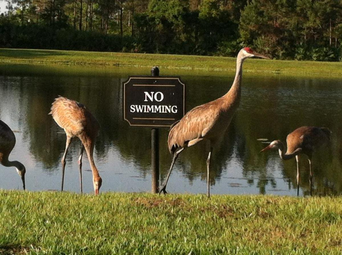 Florida Sandhill Cranes near my home.