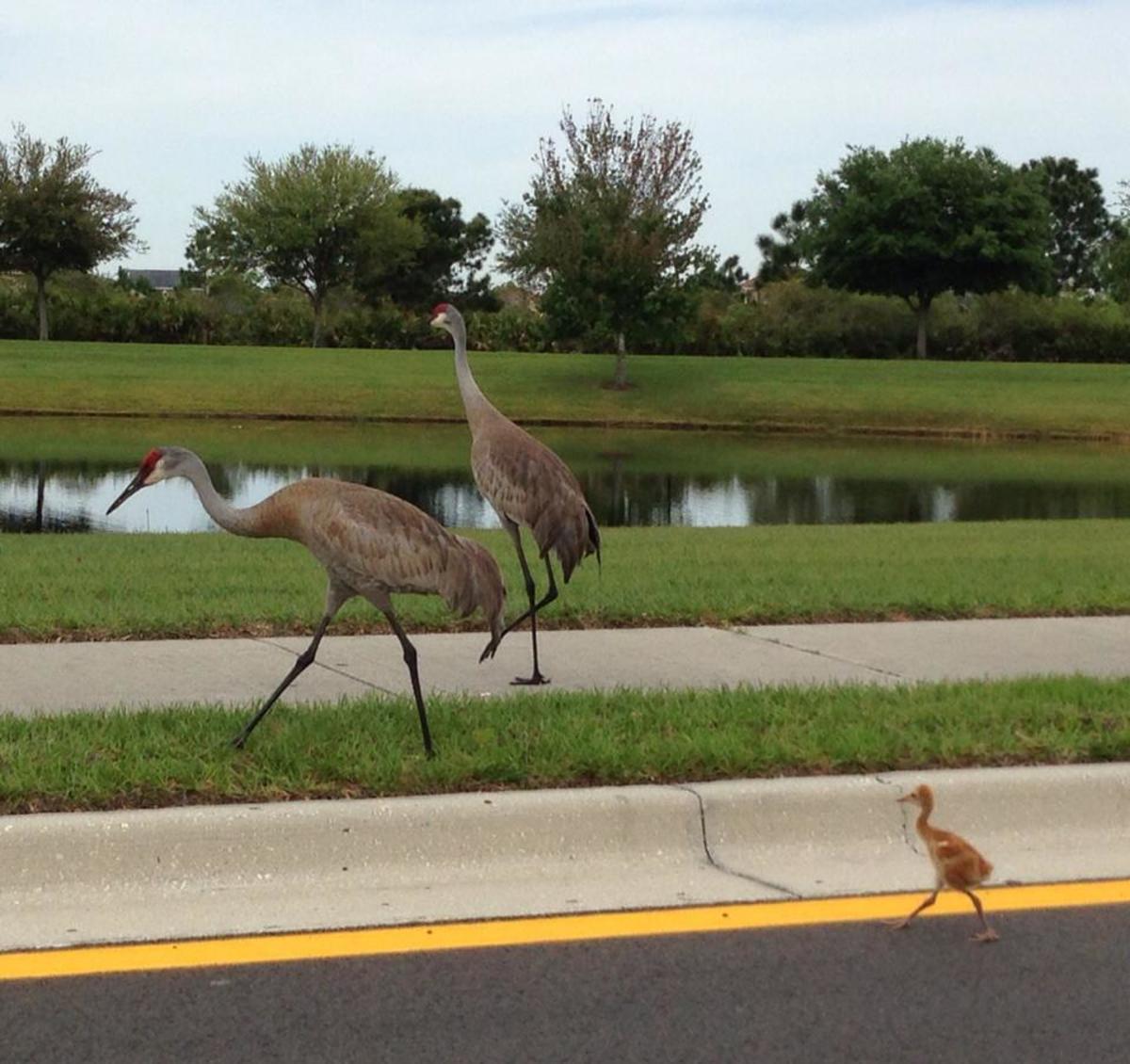 florida-sandhill-crane-birds