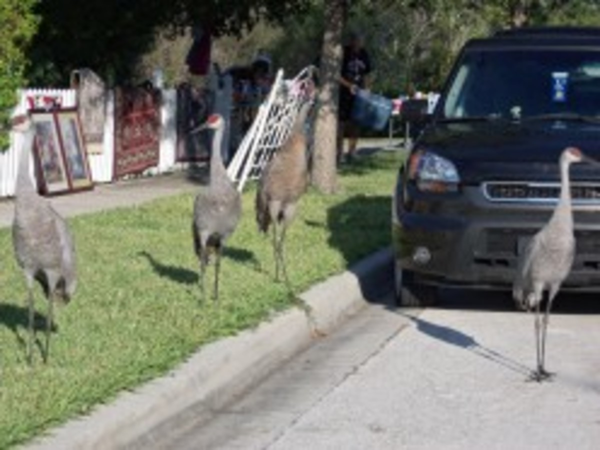 Cranes shopping my yard sale