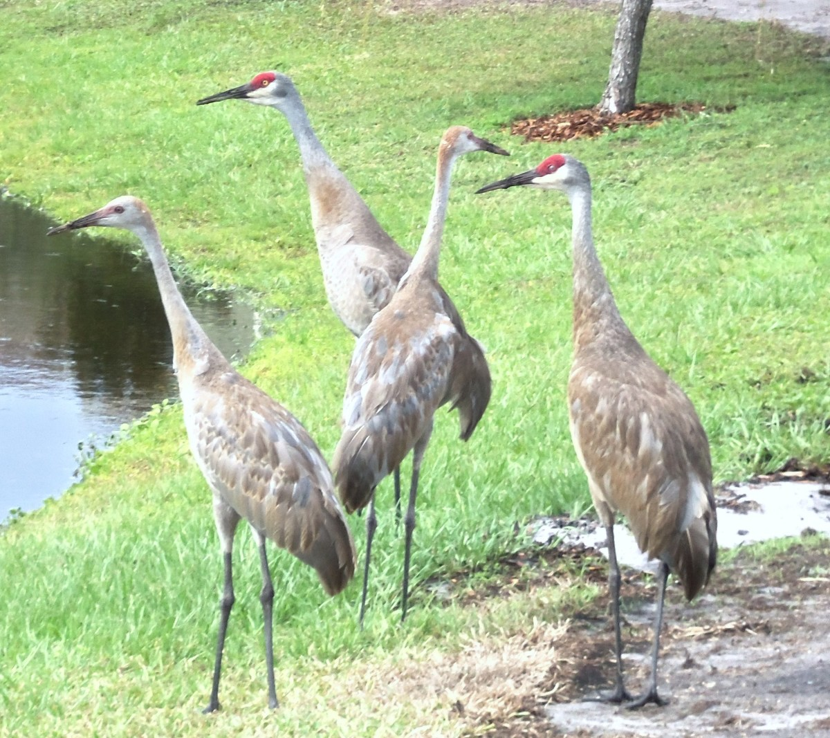 Florida Sandhill Cranes ... my favorite neighbors