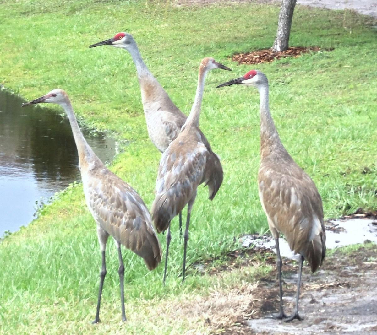 Florida Sandhill Cranes ... my favorite neighbors