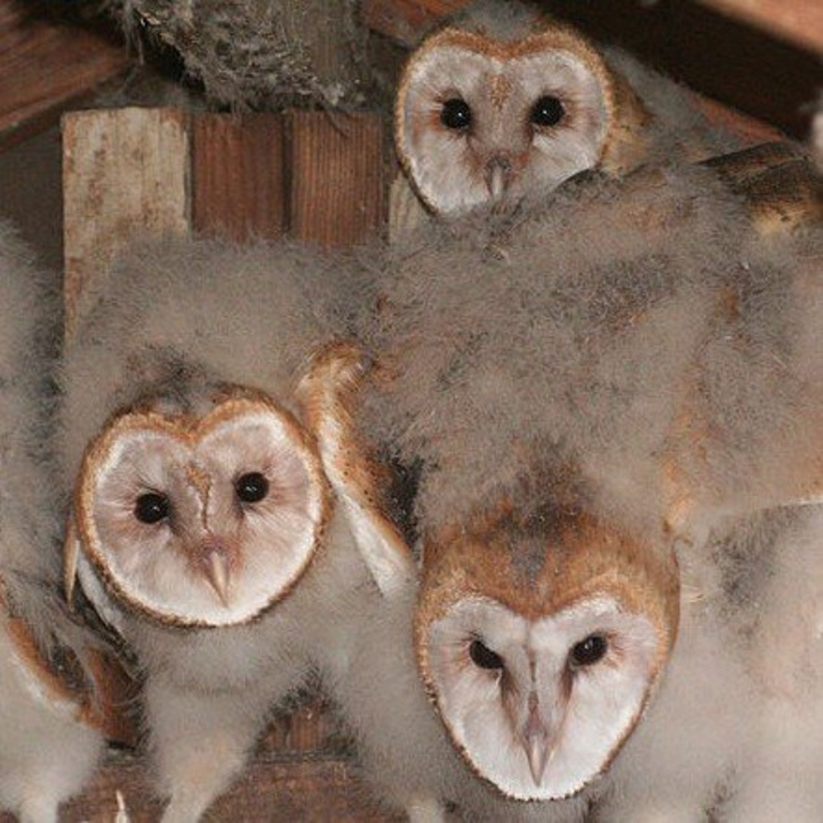 A clutch of little owlets
