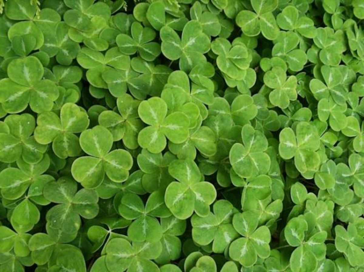 Shamrock Symbolism Explained