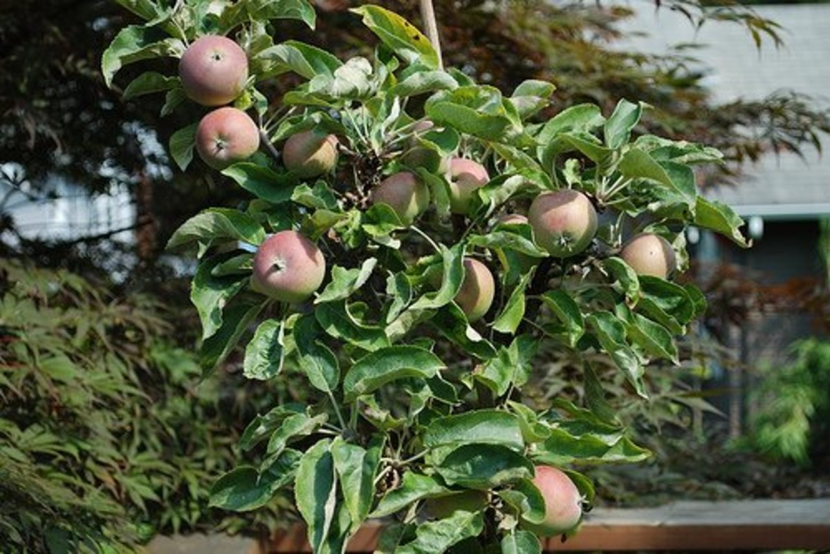 How to Grow Fruit Trees in Pots & Containers