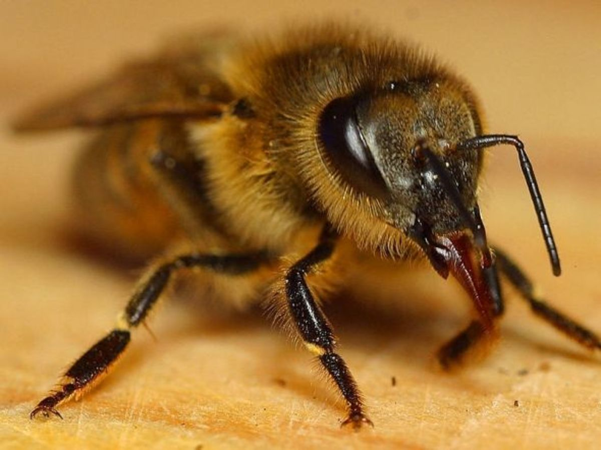 State Insect: Honeybee