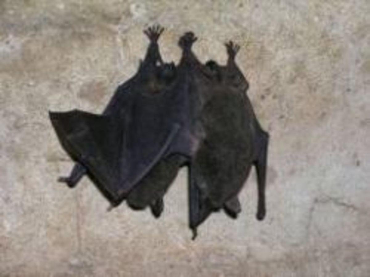 Mammoth Cave Bats