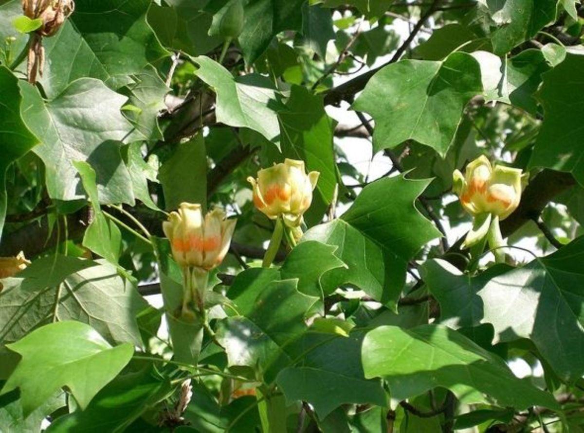 State Tree: Tulip Poplar (Liriodendron tulipifera)