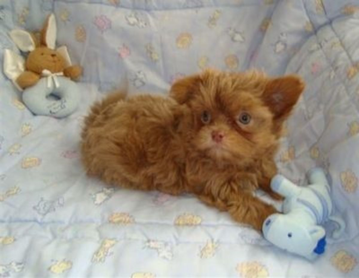 """Mikis that are all one color are rarer.  This puppy's ears were down at 8 weeks, then up at four months, then came down again at 8 months, where they seem to stay.. unless of course, he is """"winging"""" them.  (Paddington Mi-ki Kennels)"""