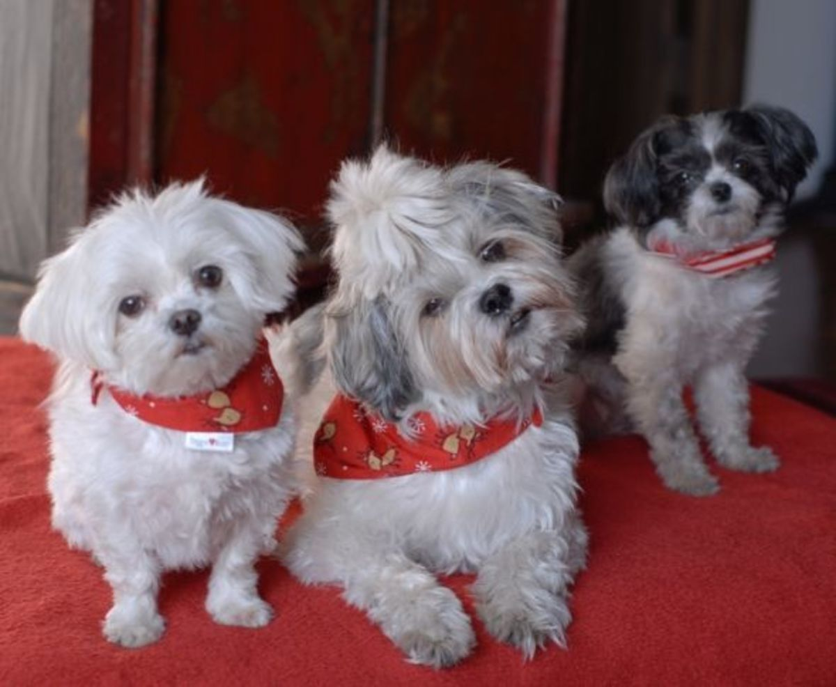 Our doggy members of the family - Xixi, Hermes, Cricket