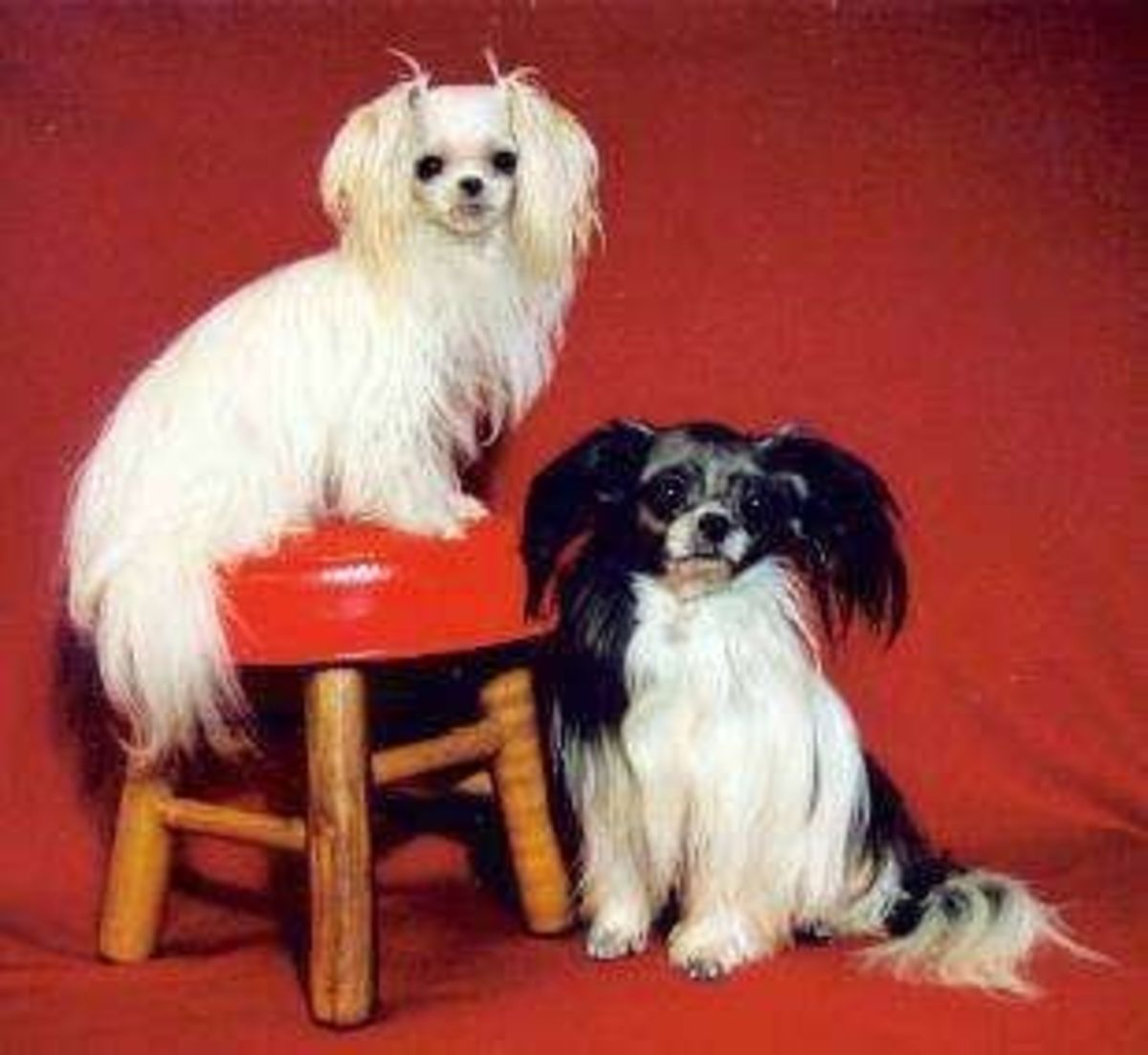Yoshi is 2 1/2 lbs  and April is 5 lbs. (Photo courtesy of  the International Mi-Ki Registry.)  .