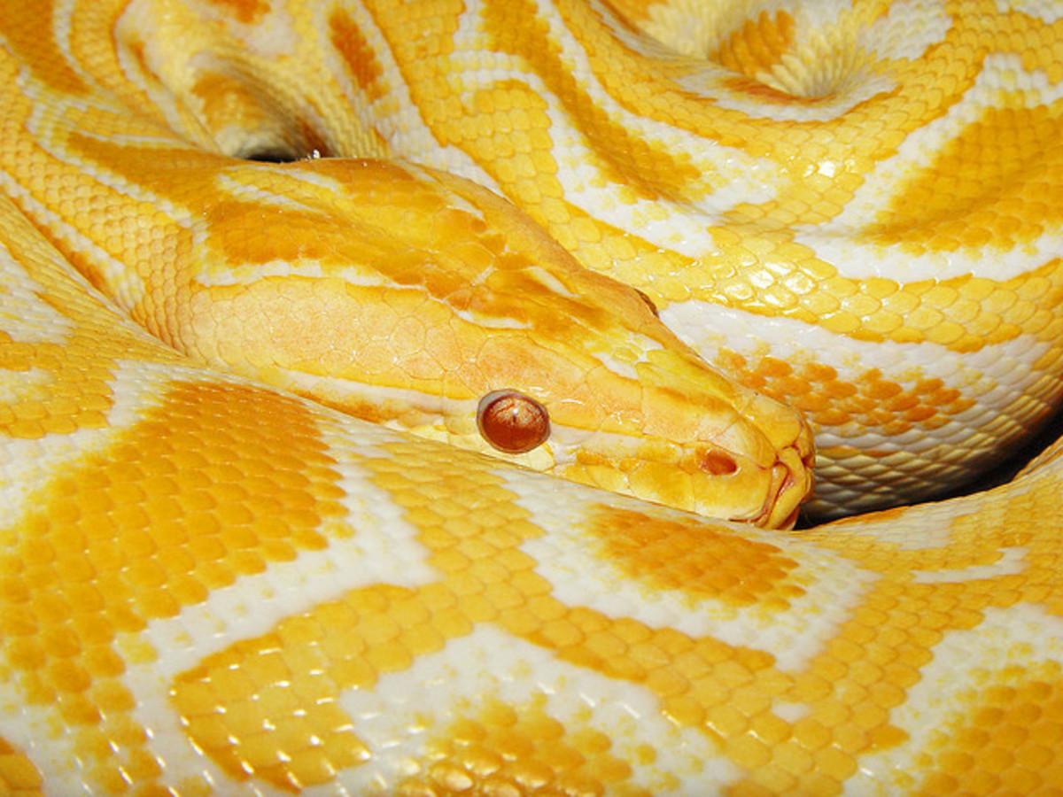 Albino Python molurus bivittatus