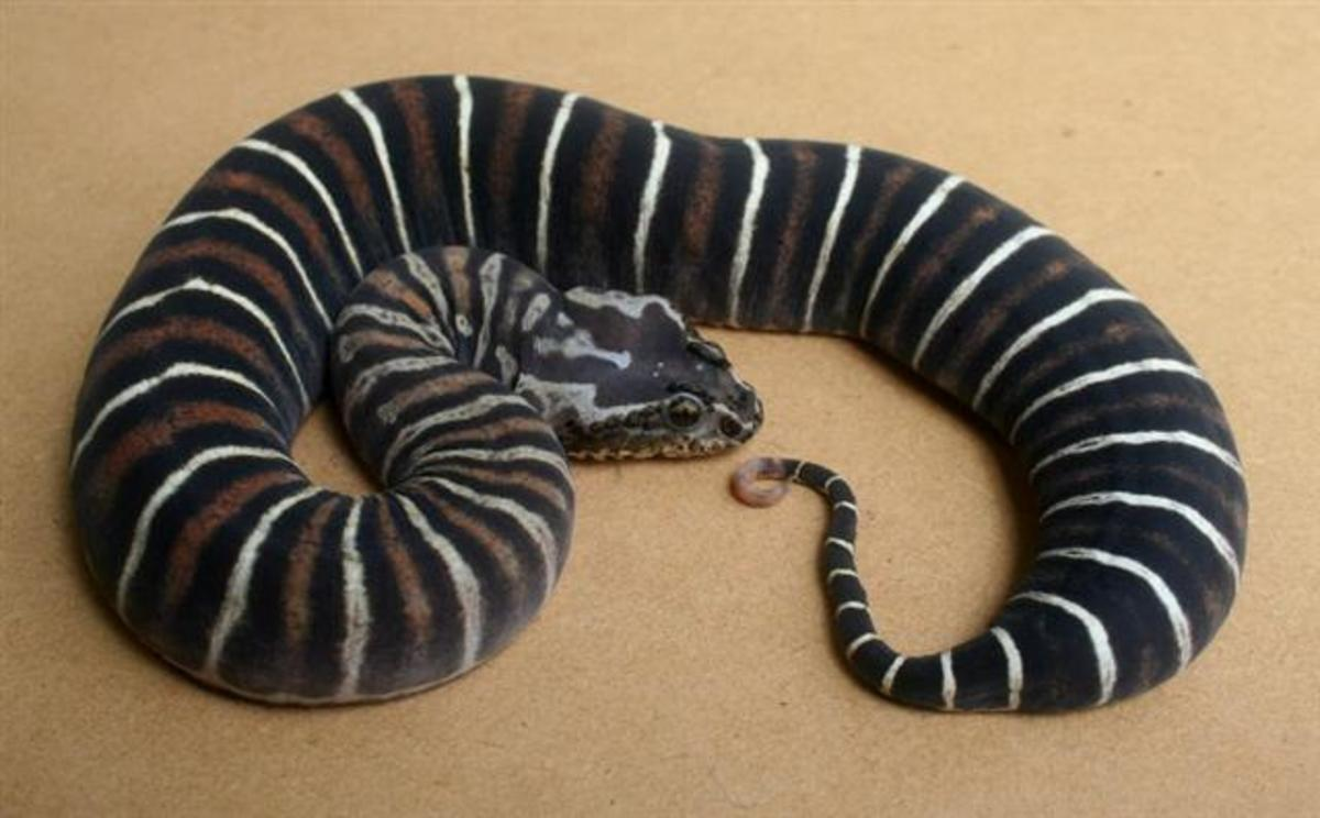Scaleless Acanthophis antarcticus