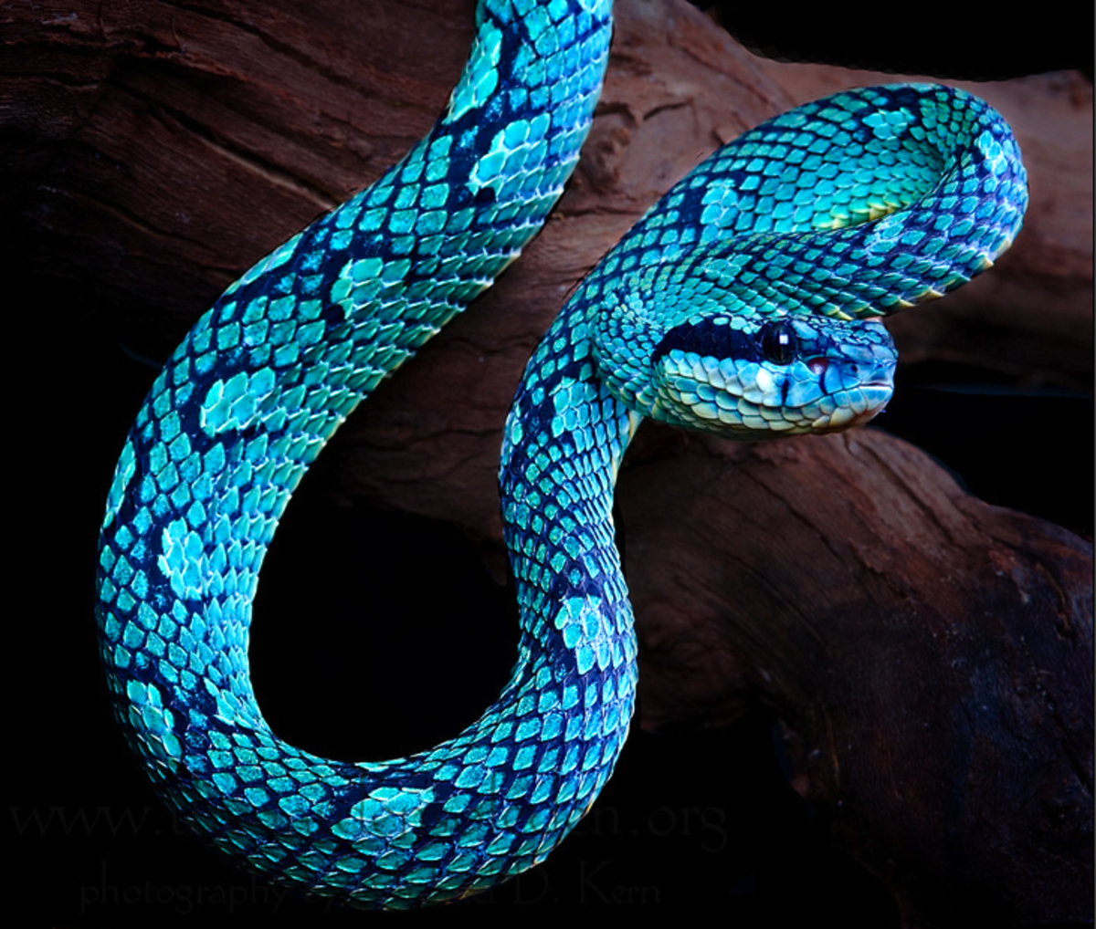 Normal Trimeresurus trigonocephalus