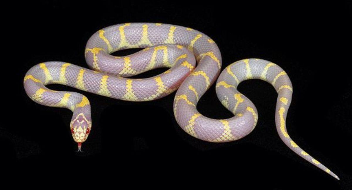Albino Lampropeltis getula californiae