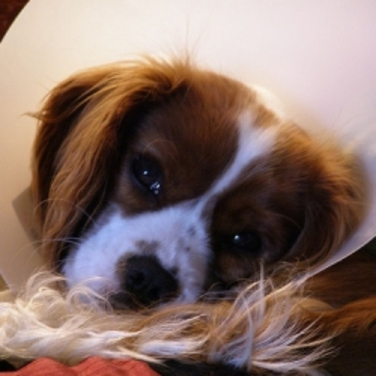 Comfortable alternatives to the dreaded e- collar cone for dogs!