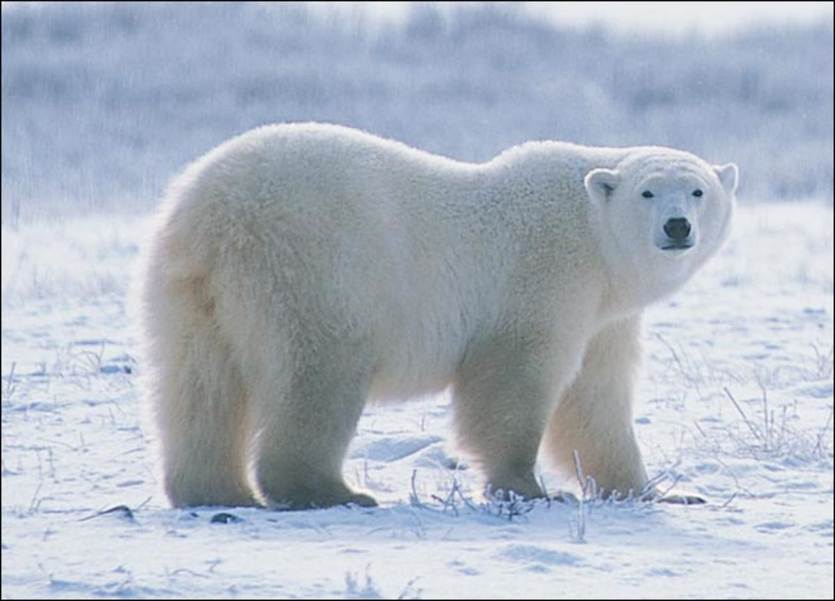 Physically the polar bear is quite different from the grizzly or Kodiak bear.