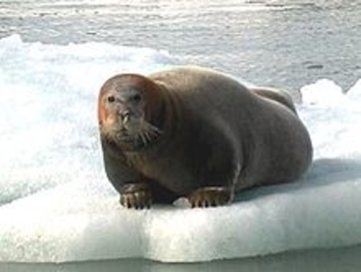 The Bearded Seal, also polar bear food