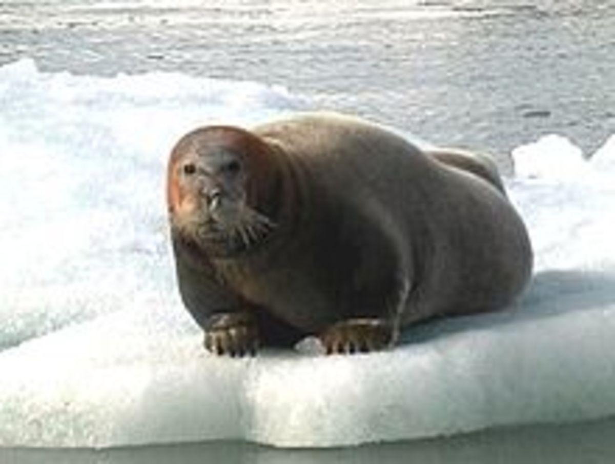 The Bearded Seal, also polar bear food