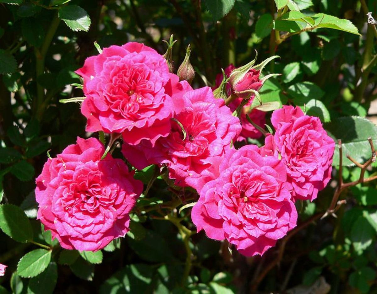 Pink Miniature Rose Bush