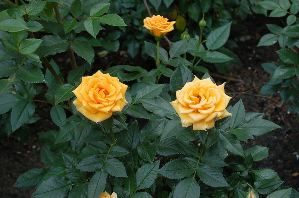Yellow Miniature Rose Bush