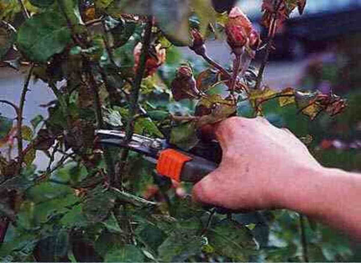 Pruning Your Miniature Rose Bush