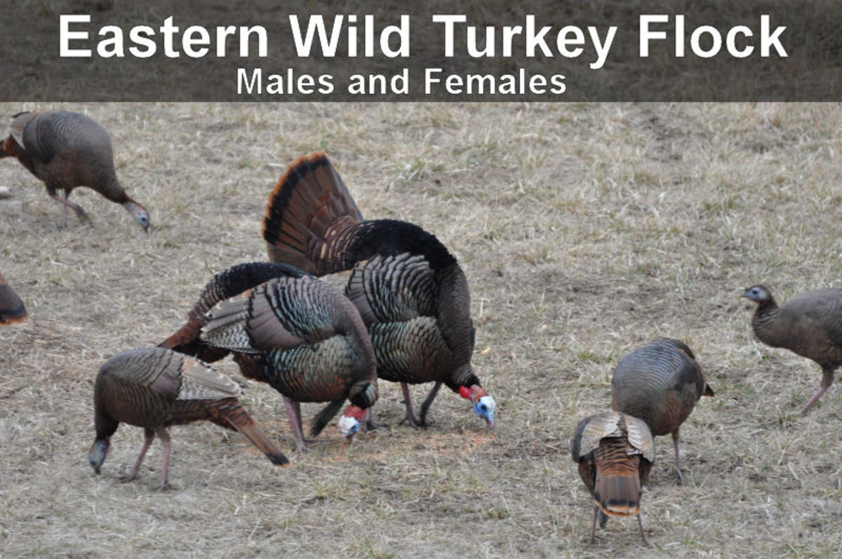 Eastern Wild Turkey Flock, males and females, (toms and hens)