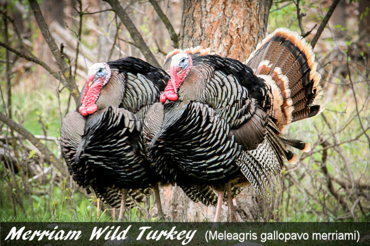Pictured here are two Merriam wild turkeys.