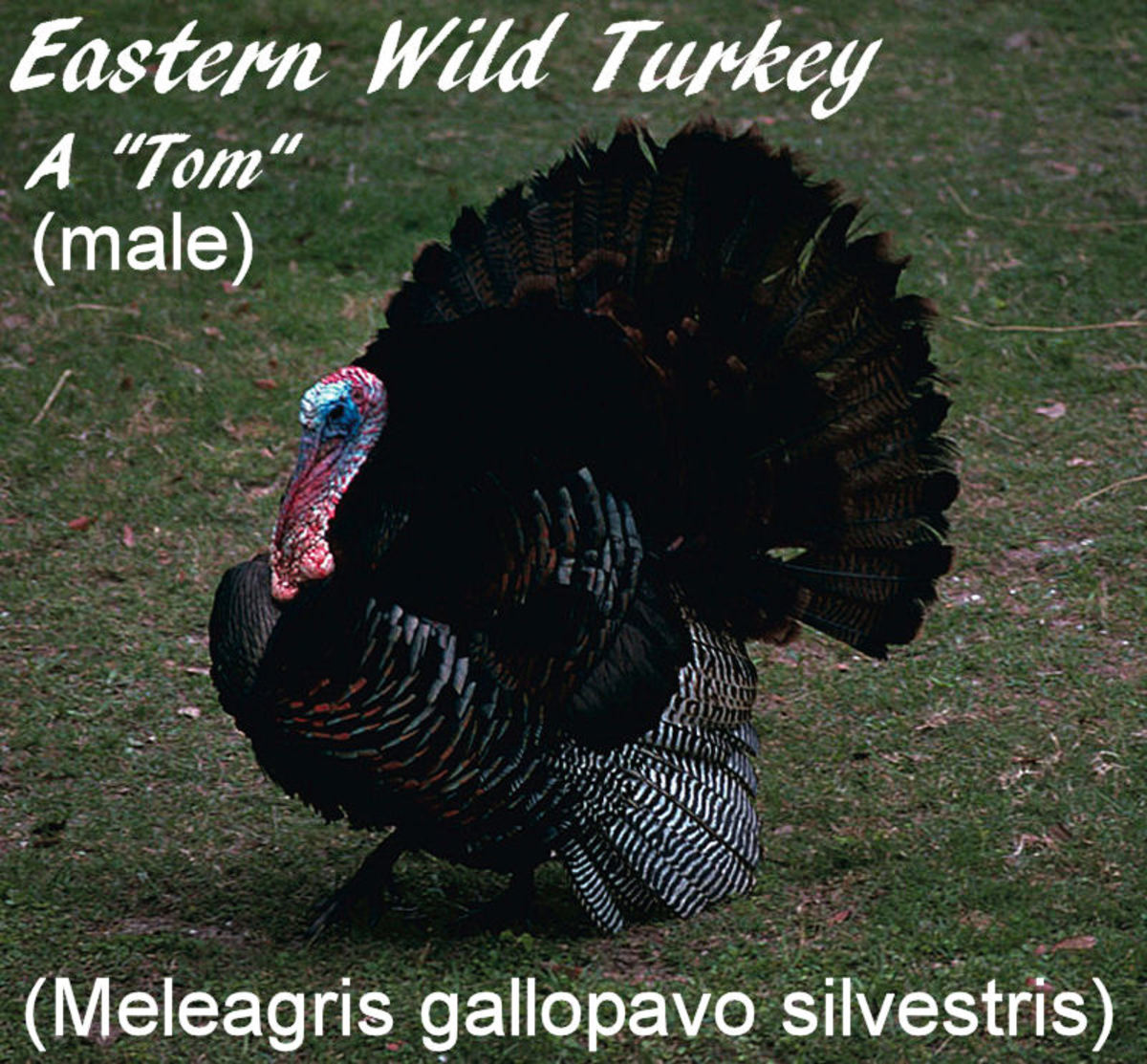 Eastern wild turkey - male (tom)
