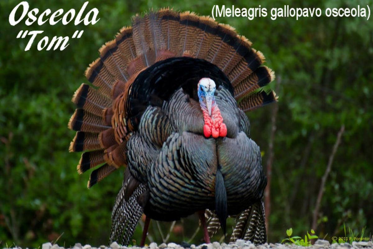 This is a male (tom) Osceola wild turkey.