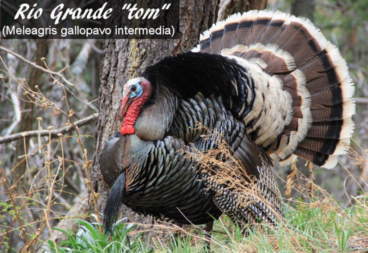 This is a male (tom) Rio Grande wild turkey.