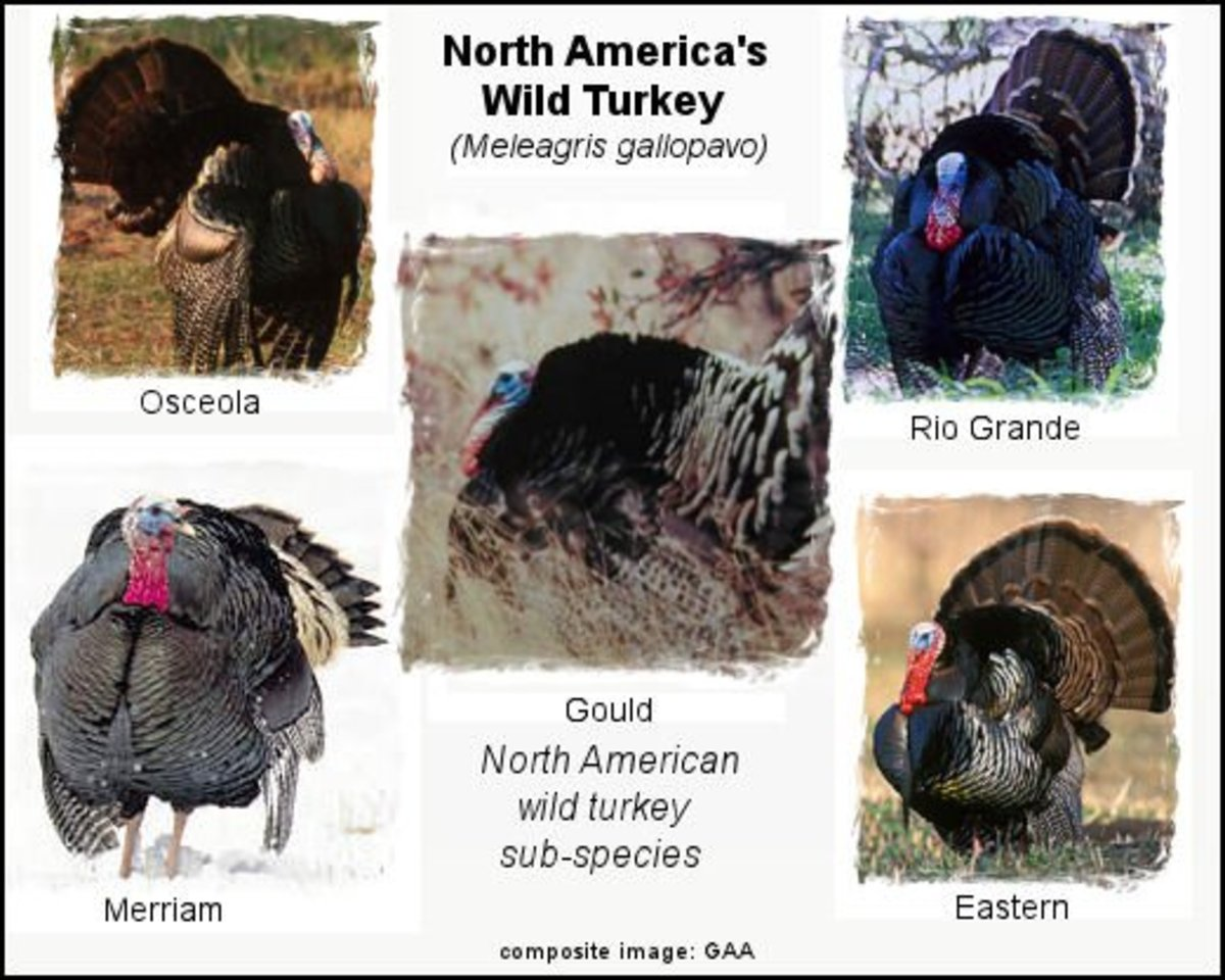 The five North American wild turkey sub-species: Eastern, Osceola, Merriam, Goulds, and Rio Grande  - *see composite image components citations