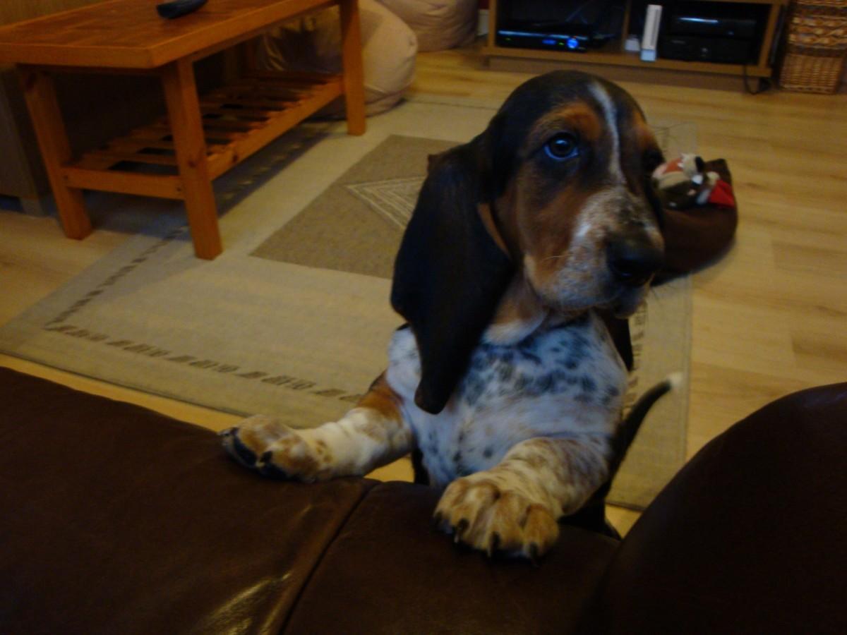 My gorgeous basset hound puppy Bella