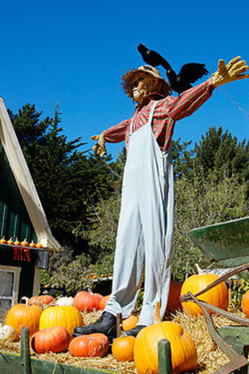Unfortunately the birds figured this guy out. Move your scarecrow often so the birds won't figure out the scarecrow isn't real.