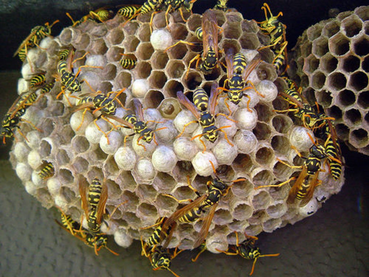 red-wasps-and-yellow-jackets