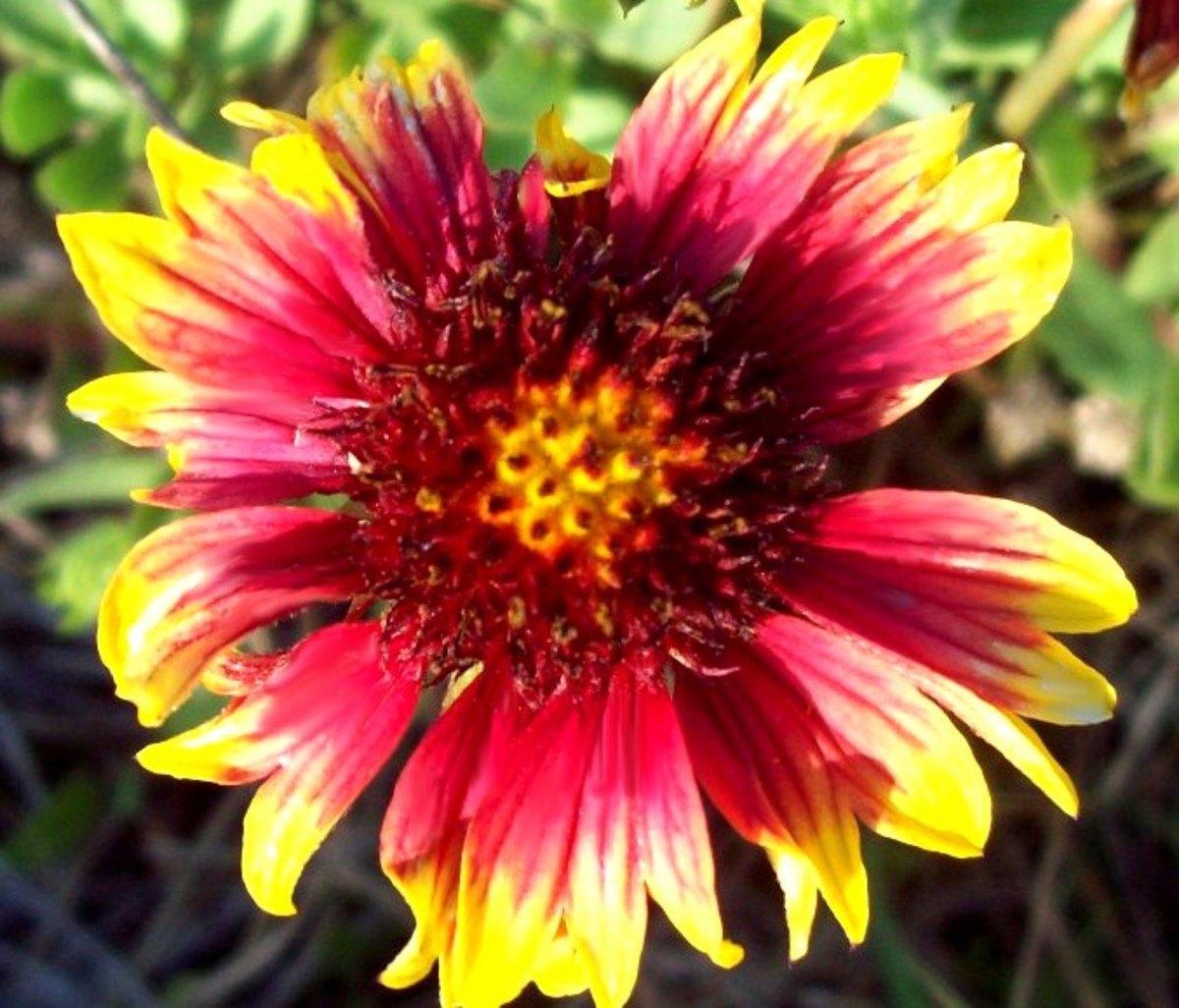 A beautiful gaillardia flower on Ocracoke Island.
