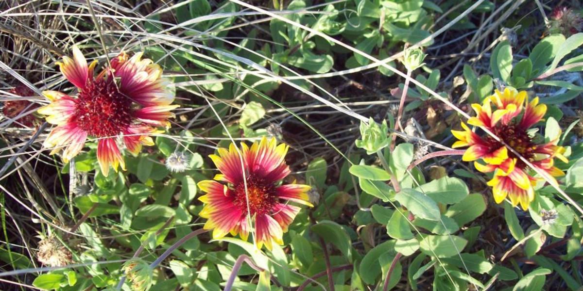 Gaillardia perfers sandy soil.