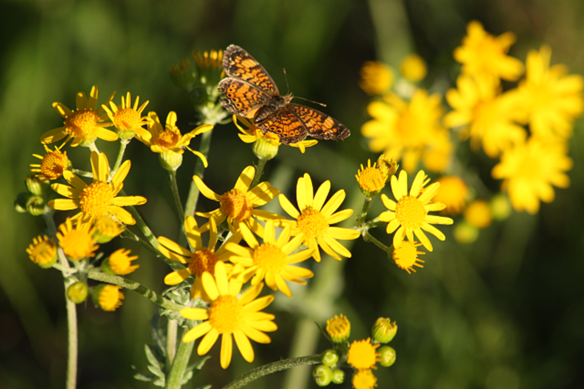 Butterfly flitting amount the wildflowers.