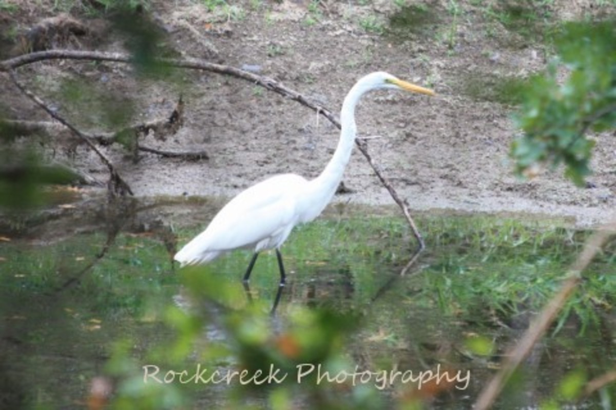 White Heron looking for his morning meal.