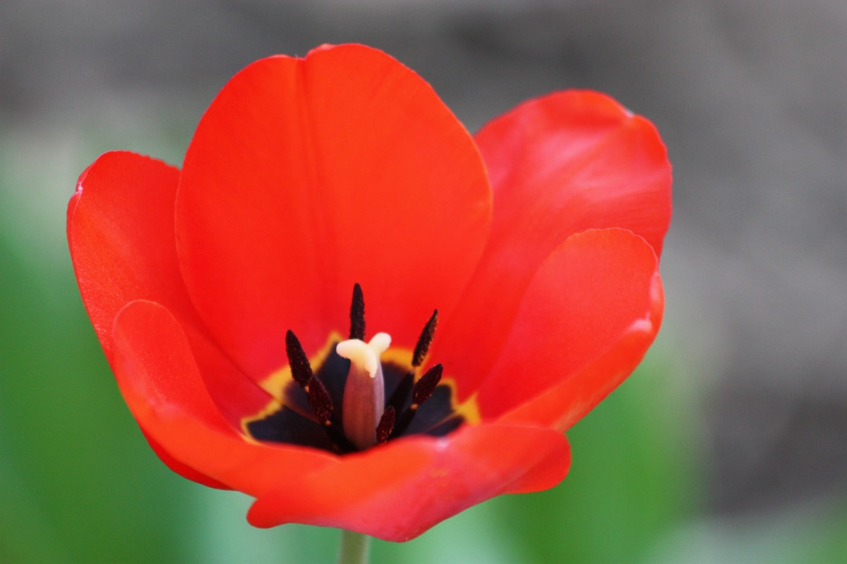 Tulips are one of the first flowers in spring.