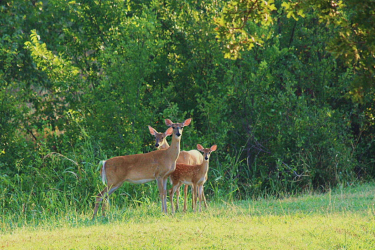Two doe and fawn.