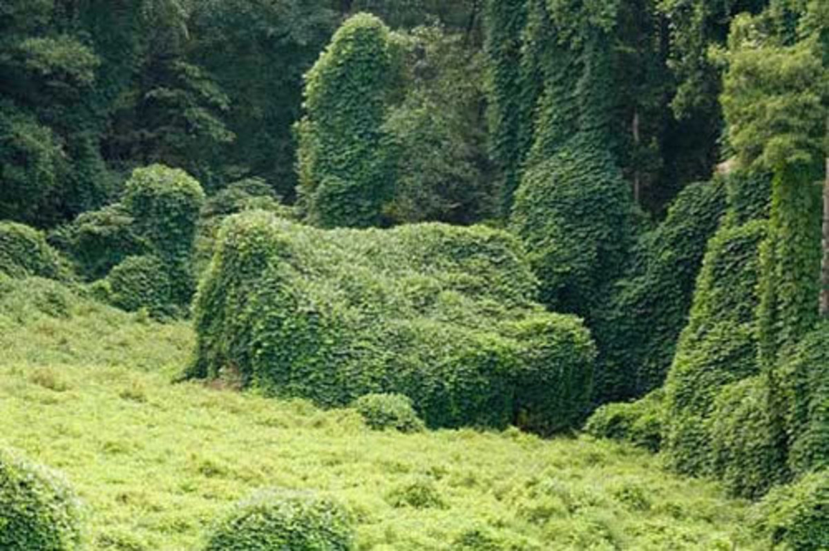 A cabin and tree line completely overtaken by invasive Kudzu vines.