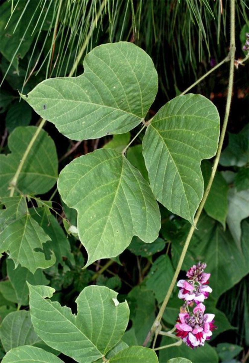 Lobed leaflets of the Kudzu vine.