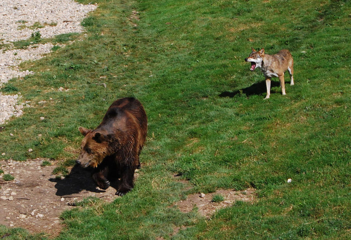 Brown Bears will frequently try to steal a kill from a wolf pack. But as you can see, they are quite prepared to defend their prize.