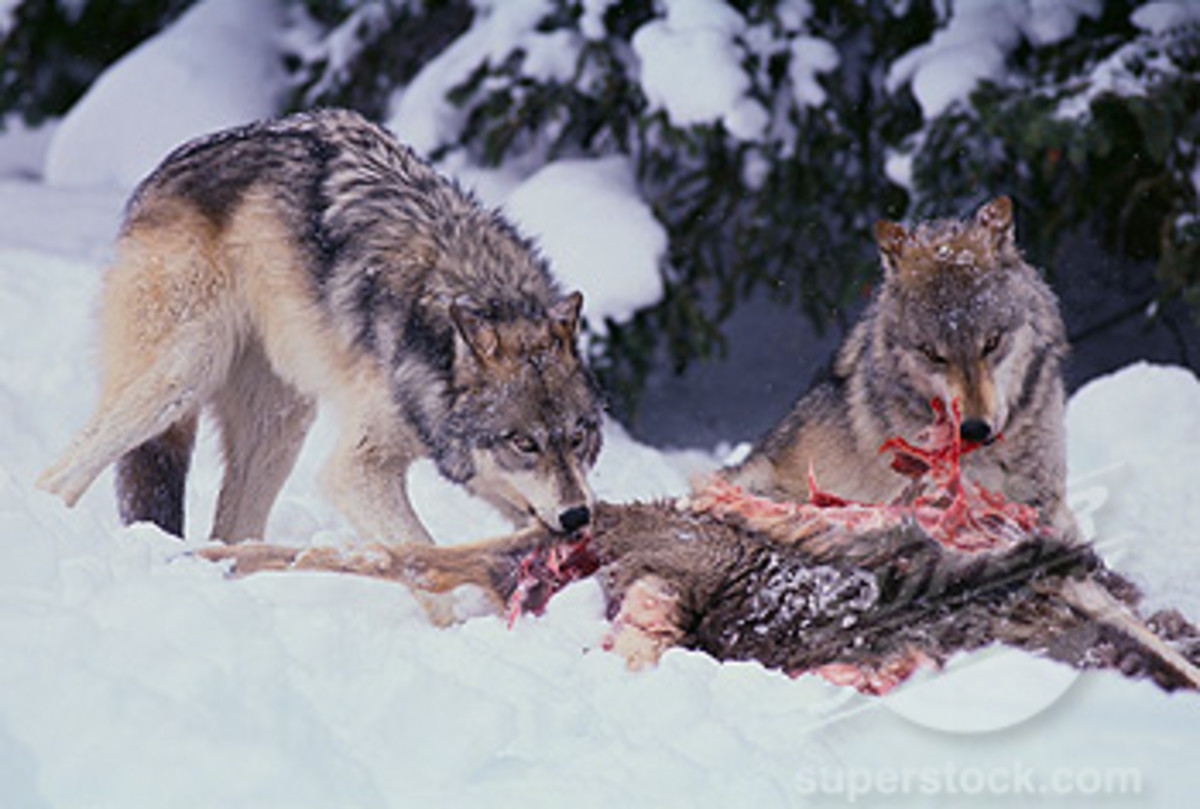 Contrary to popular thinking, the alpha wolves do not feast first, instead they use the beta wolves to control who gets what.