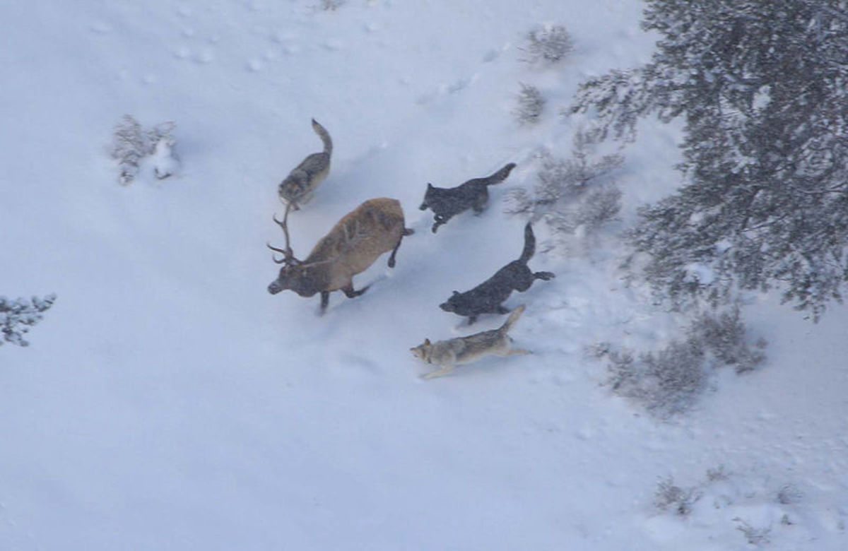 This elk stag looks doomed as four wolves close in on him.