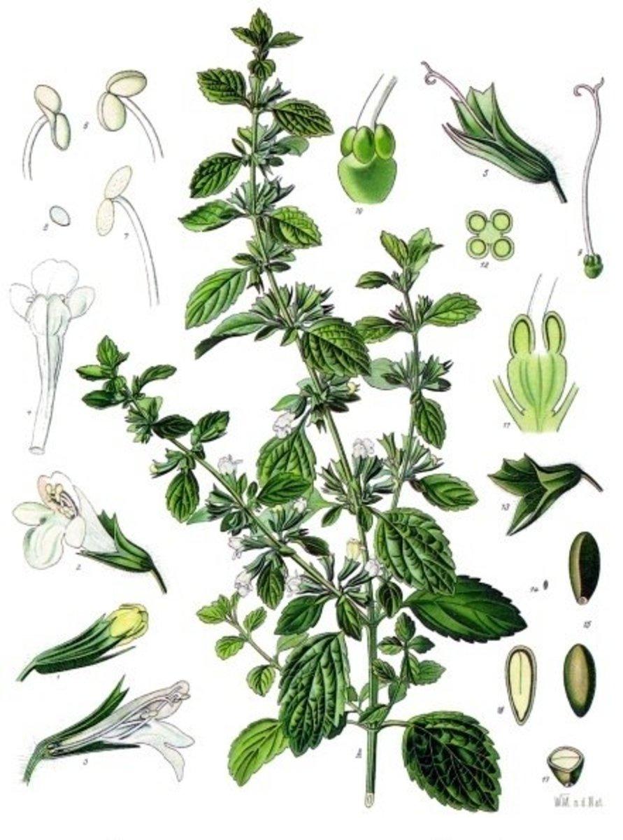 How To Use Lemon Balm-10 Uses For Lemon Balm Herb