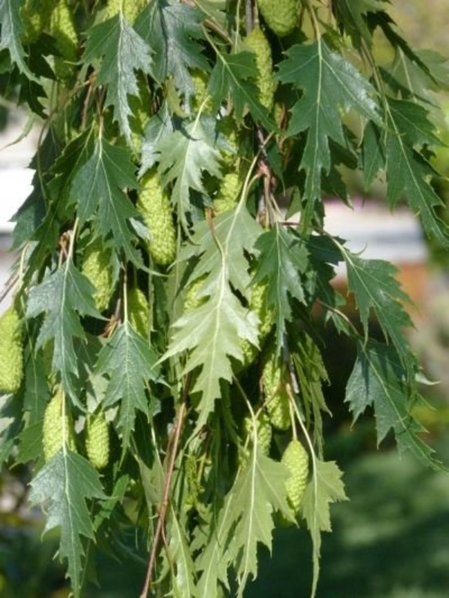 Serrated leaves of Cutleaf Weeping Birch tree with catkins (flowers).
