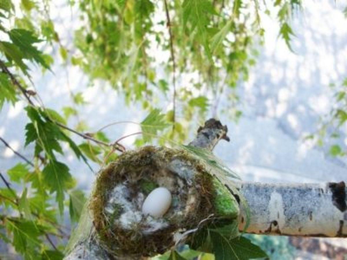 One solitary hummingbird's egg